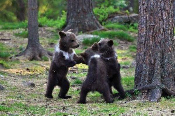 後ろ足で立ち上がり、ダンスをするかのような子グマたちの写真がかわいい