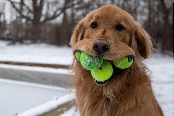 テニスボール1度に6個咥える犬、ギネス記録にまっしぐら