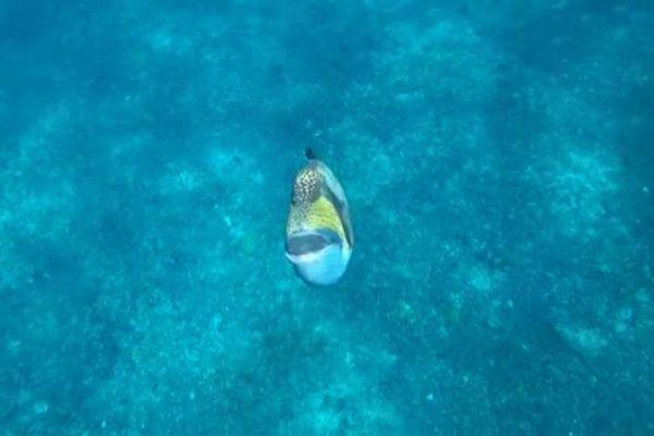 小さいけれど獰猛な魚、ゴマモンガラが待ち伏せしダイバーを急襲【動画】