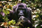 マウンテンゴリラを新型コロナから守るため、アフリカでエコ・ツアーなどを中止