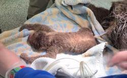 つぶらな瞳が可愛いナマケモノの赤ちゃん、米の動物園で難産の末に誕生