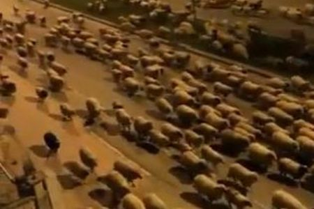 新型コロナで人が少なくなった通りに大量の羊が出現、道路を埋め尽くす