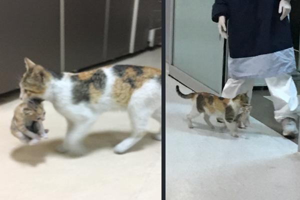親猫が病気の子猫をくわえて救急救命室に運び込んだ