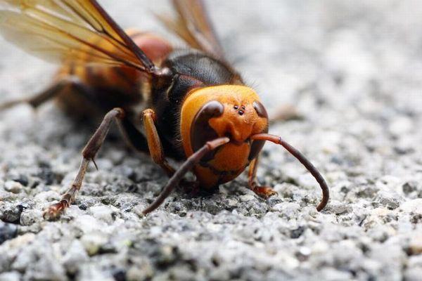米で「オオスズメバチ」の脅威高まる、欧州ではミツバチが襲われ30%も減少