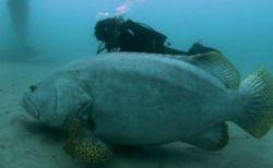 で、デカすぎる!人間よりも大きなハタ、ダイバーがオーストラリアの海で撮影