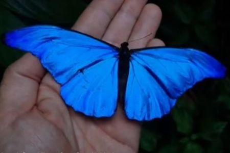 アマゾンで捕獲された蝶、羽が深い青に染まった姿が美しい