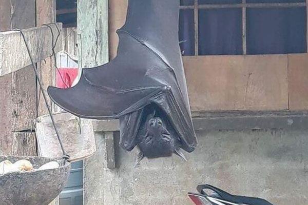 フェイクじゃない!フィリピンで撮影されたコウモリが巨大すぎる