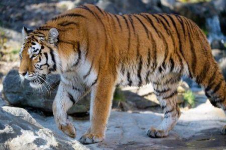 スイスの動物園で女性飼育員が、入園者の前でアムールトラに襲われ死亡