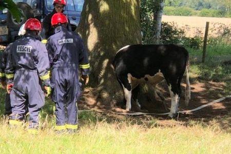 好奇心が強かった牛さん、野原で木に頭が挟まってしまう、消防士が救助