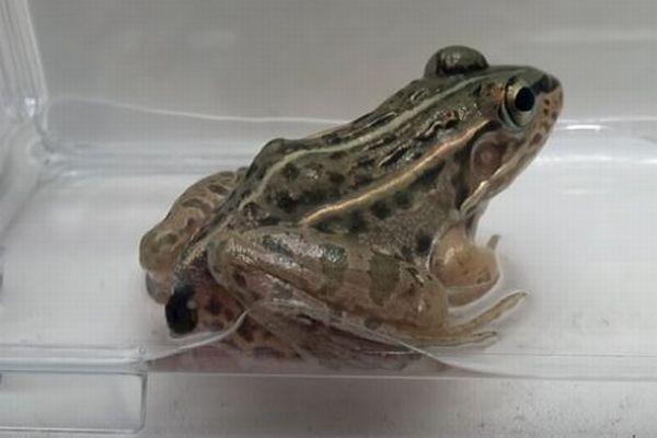 カエルに食べられても死なない!お尻から脱出し生きる昆虫を発見【動画】