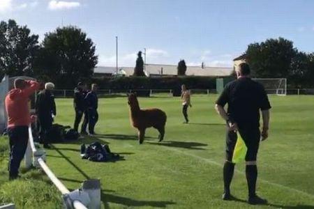 アルパカ、イギリスのサッカー場に現れ試合を中断させる