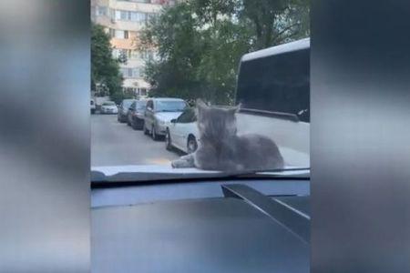 ボンネットの上にいたネコ、車が動き出しても乗り続けてしまう【動画】