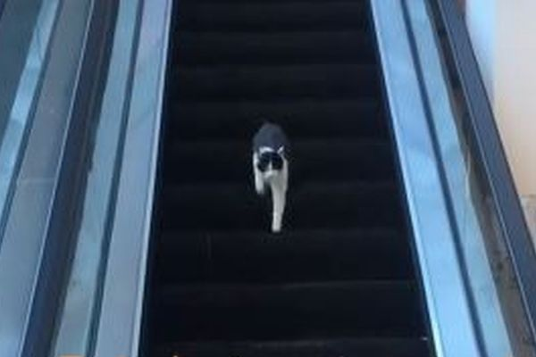 上りのエスカレーターを熱心に下るネコ、いつまでも下へ行けず困惑