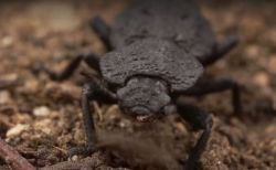 車にひかれても潰れない、驚異の体をもつ甲虫の秘密に研究者が迫る