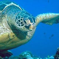 w- green turtle