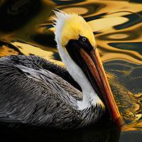 w- pelican