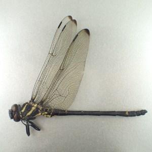 [:ja]ミナミヤンマ ペア 奄美大島 [:en]Chlorogomphus brunneus costalis PA Japan Amamioshima-is [:]