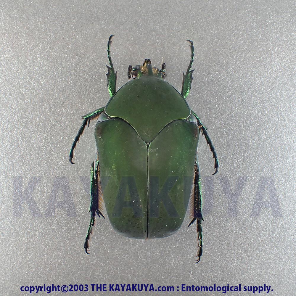 [:ja]オオコツノヒシムネハナムグリ form Green 1ex ホンジュラス[:en]Cotinis laticornis form green 1ex Honduras[:]