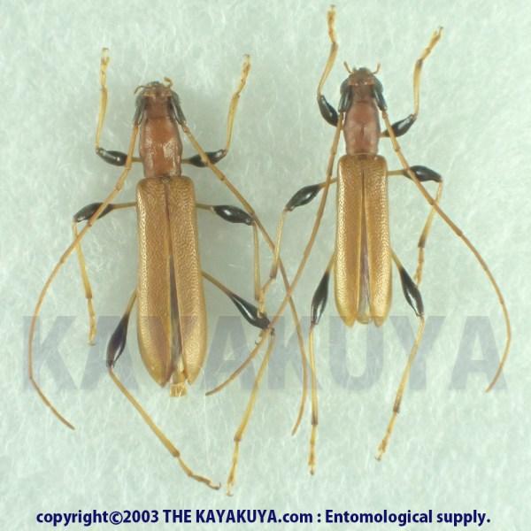 [:ja]リュウキュウアメイロカミキリ PA 奄美大島[:en]Stenodryas clavigera insularis PA Japan Amamioshima-Is[:]