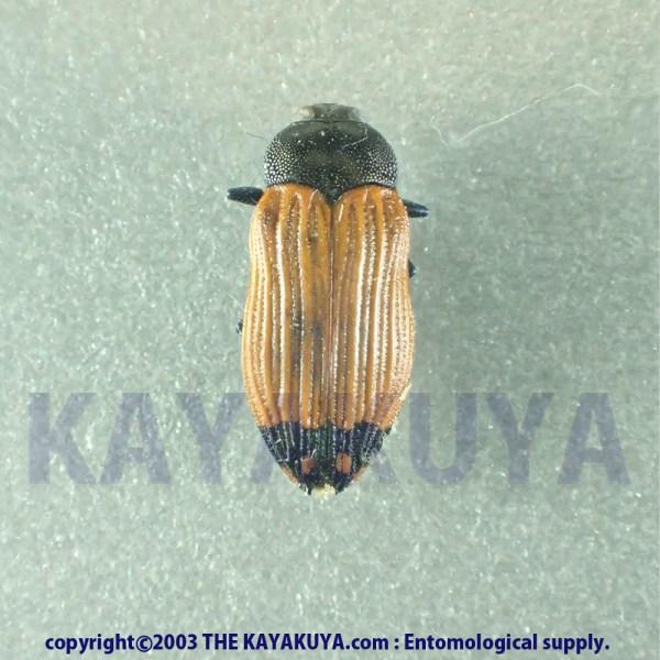 [:ja]Castiarina nanula 1ex オーストラリア[:en]Castiarina nanula 1ex Australia [:]