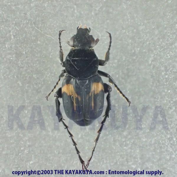 [:ja]Trichius sp5 1ex ニカラグア[:en]Trichius sp5 1ex Nicaragua [:]