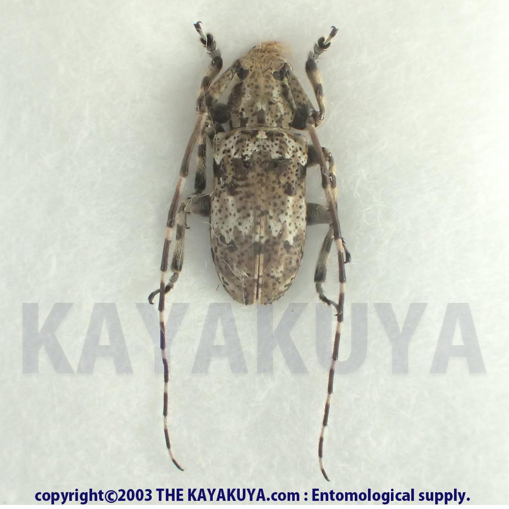 [:ja]トカラオキナワゴマフカミキリ ♂ 奄美大島 [:en]Mesosa (Perimesosa) pictipes miyamotoi ♂ Japan Amamioshima-Is[:]