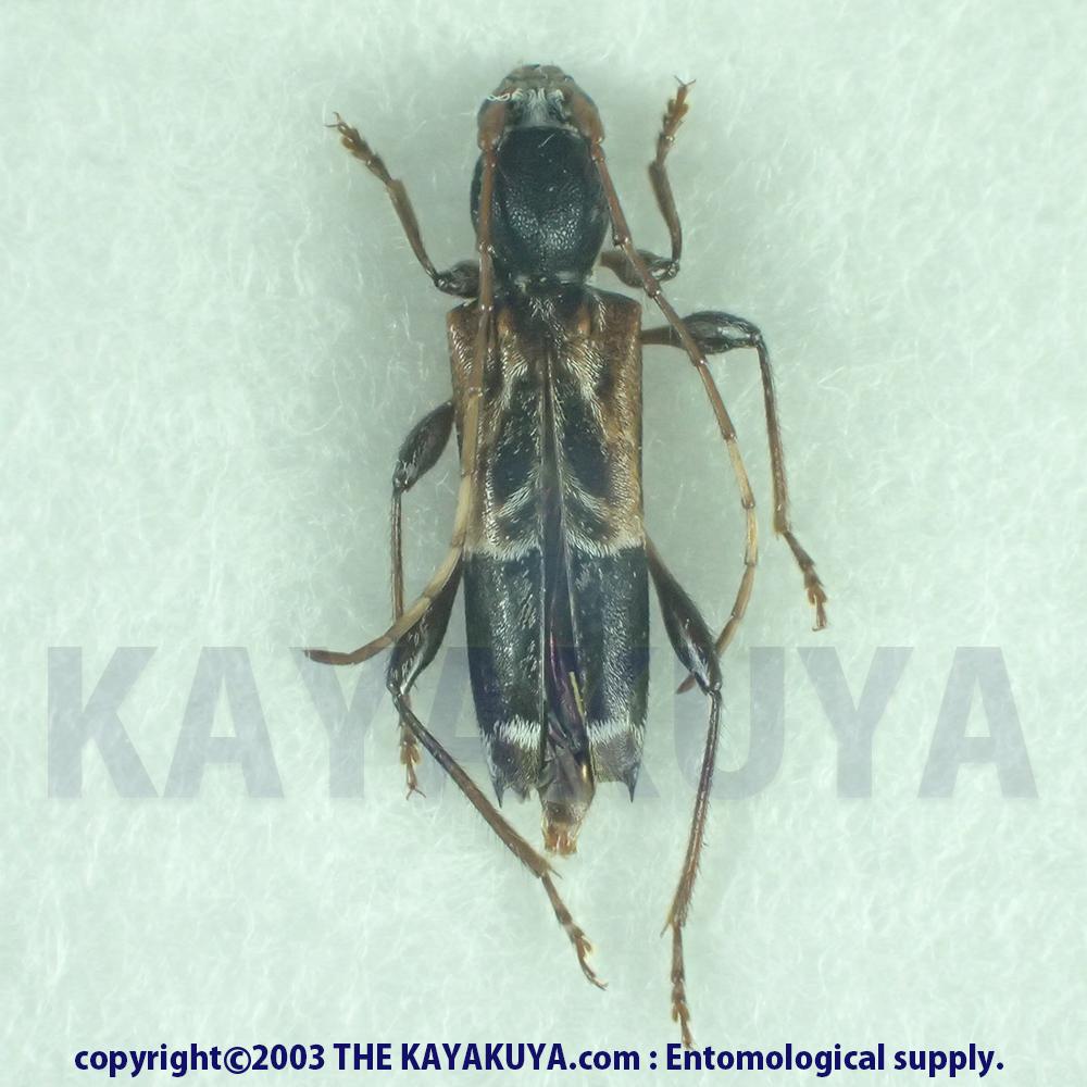 [:ja]アマミアラカワシロヘリトラカミキリ ♀奄美大島[:en]Anaglyptus arakawae amamiensis ♀ Japan Amamioshima-Is [:]