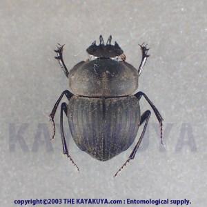 [:ja]Cephalodesmius sp 1ex オーストラリア[:en]Cephalodesmius sp 1ex Australia[:]
