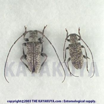 [:ja]アマミクロオビトゲムネカミキリ PA 奄美大島[:en]Sciades(Estoliops) fasciatus nobuoi PA Japan Amamioshima-Is[:]