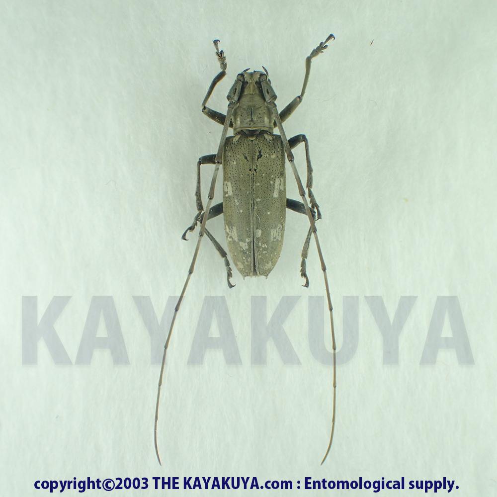 [:ja]アマミキボシカミキリ ♀ 奄美大島 [:en]Psacothea hilaris maculata ♀ Japan Amamioshima-Is[:]