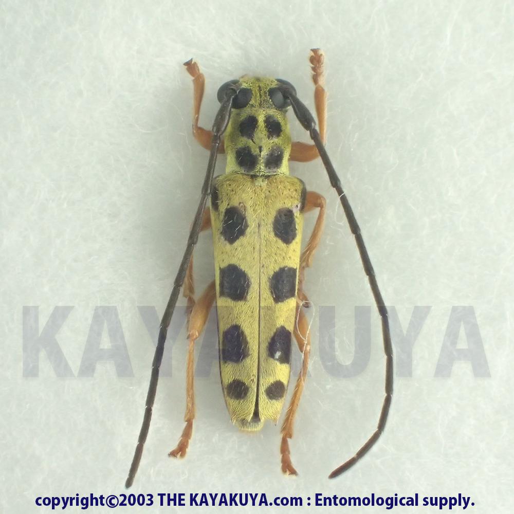 [:ja]アマミモンキカミキリ♂ 奄美大島[:en]Ostedes inermis densepunctata ♂ Japan Amamioshima-Is [:]