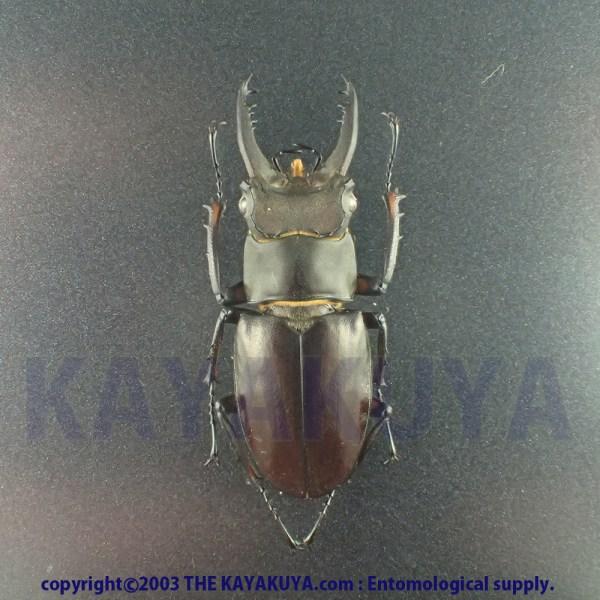 [:ja]アマミミヤマクワガタ 37mm♂ 奄美大島 [:en]Lucanus Ferriei 37mm Male Japan Amamioshima-Is[:]