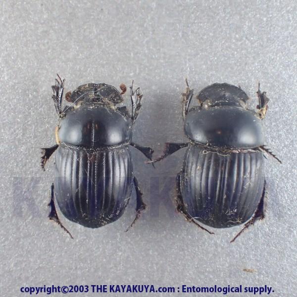 [:ja]Dichotomius sp PA ニカラグア[:en]Dichotomius sp PA Nicaragua[:]