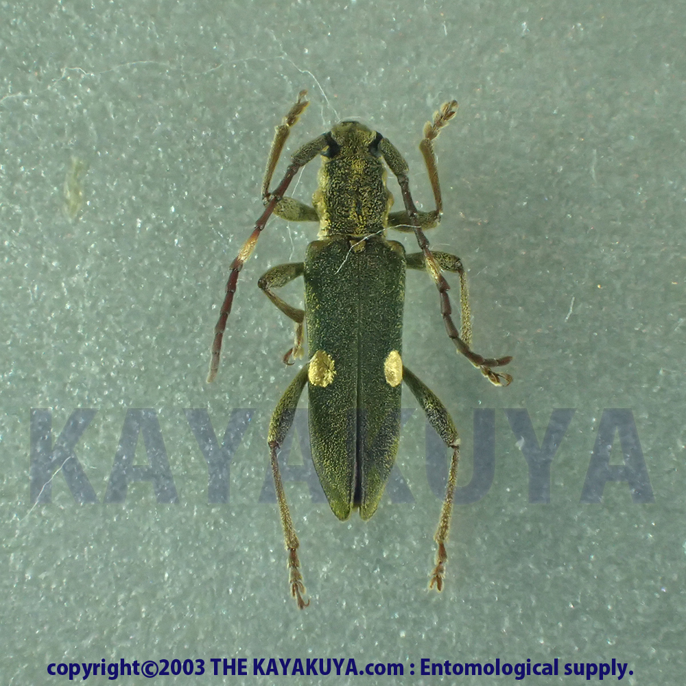 [:ja]Pempsamacra pygmaea 1ex オーストラリア[:en]Pempsamacra pygmaea 1ex Australia[:]