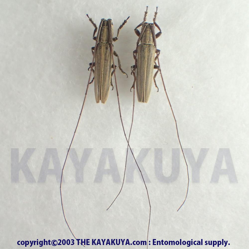 [:ja]オオシマドウボソカミキリ PA 奄美大島[:en]Hyllisia oshimana PA Japan Amamioshima-Is[:]