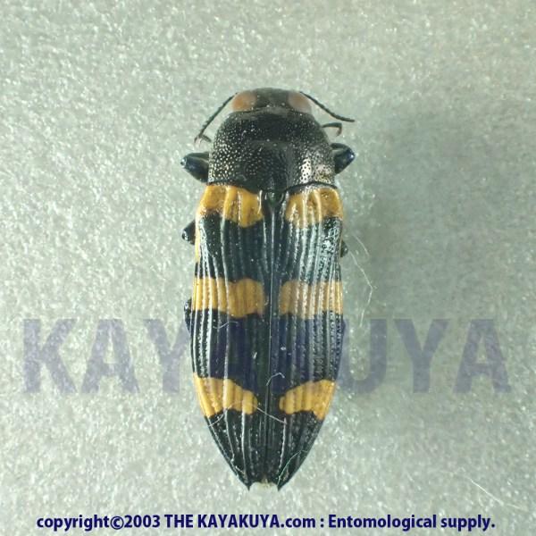 [:ja]Castiarina sp033 1ex オーストラリア[:en]Castiarina sp033 1ex Australia[:]