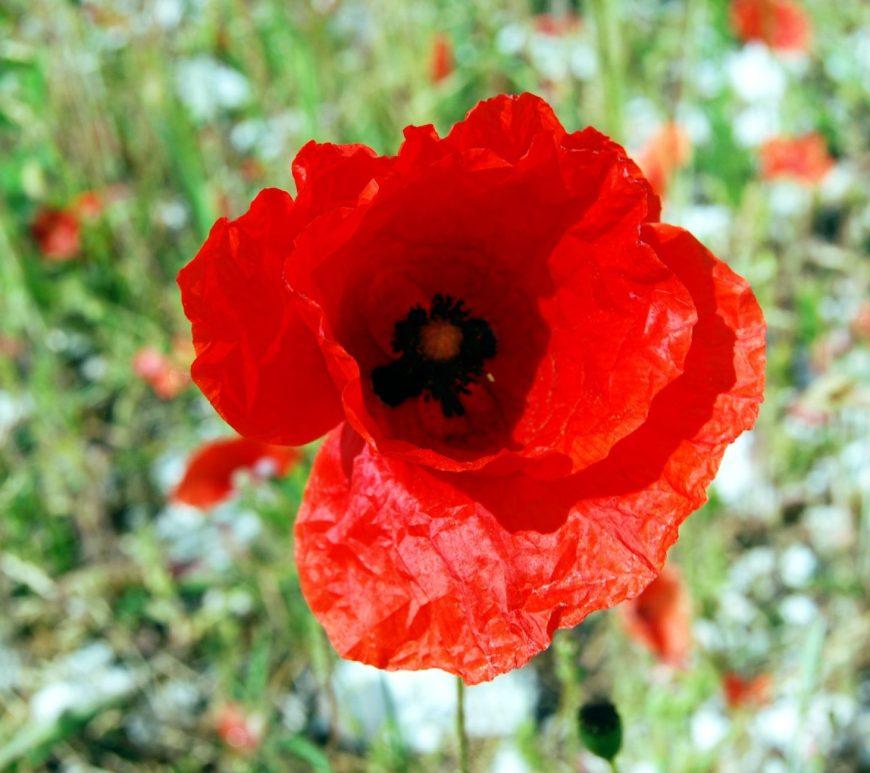 Red Poppy by Ben Welsh