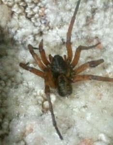 Unknown spider in iowa help id trey hyatt also identification needed update swittersb  exploring rh wordpress