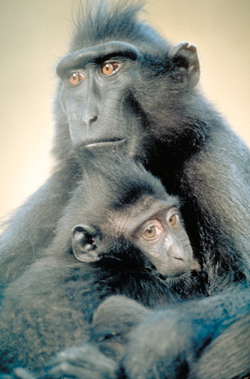Crested black macaque (photo courtesy of Primate Info Net)