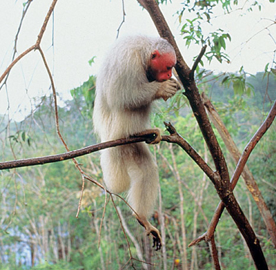 Uakari. Photo: Luiz Claudio Marigo. Courtesy of Primate Info Net
