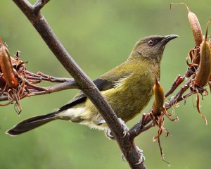 The New Zealand Bellbird (Anthornis melanura) provides the interval signal for RNZI (Photo: Wikimedia Commons)