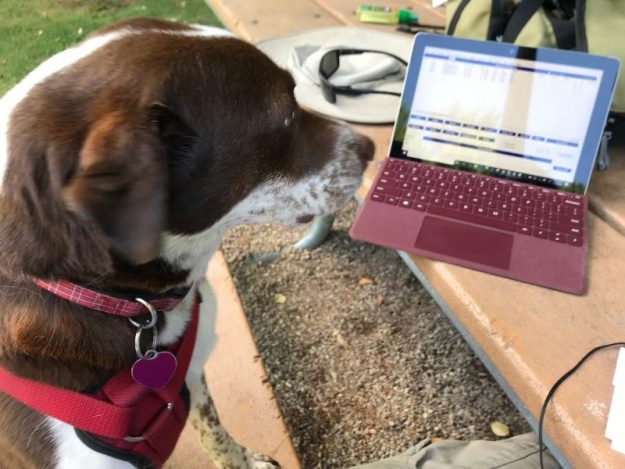 Hazel the dog staring at my portable logging computer.