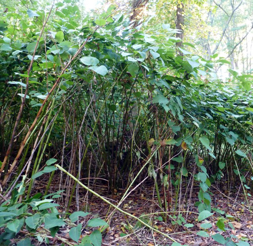 Japanese knotweed, photo by Kristin Schinske.