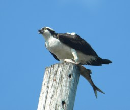 osprey (fish hawk)