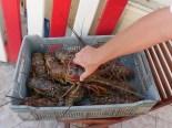 Lebende Lobster