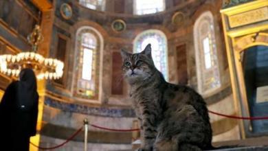 """صورة والي إسطنبول يعلن وفاة قطة آيا صوفيا الشهيرة """"غلي"""""""
