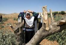 صورة إسرائيل تتلف سنوياً الآلاف من أشجار الزيتون بالأراضي الفلسطينية