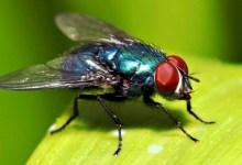 صورة حشرة حديثة أطلق عليها اسم ذبابة كورونا