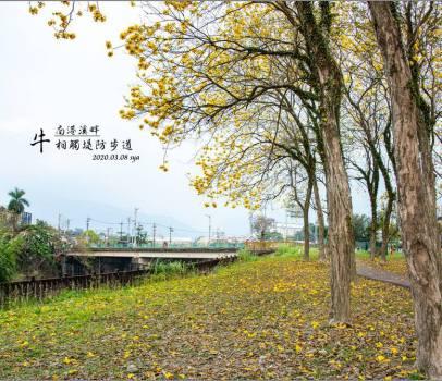 【南投 景點】牛相觸堤防 | 黃花風鈴木