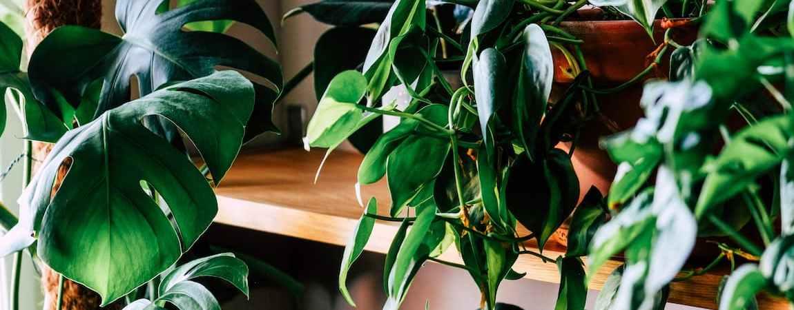 Сяй-ВО! Догляд за кімнатними рослинами і підтримуюче/періодичне прибирання